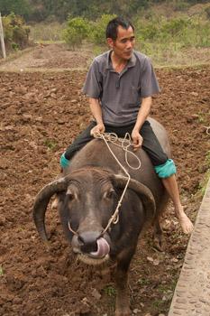farmer with water buffalo