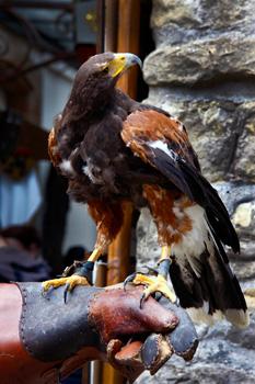Carcassonne falcon