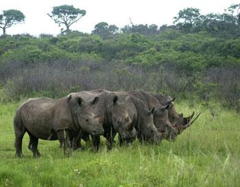 Rhino herd viewed on game drive