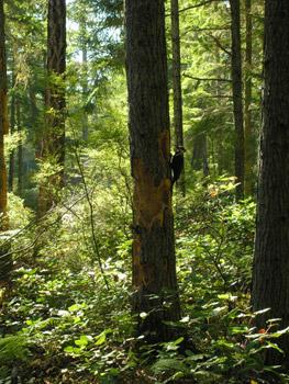 Pileated woodpecker on tree