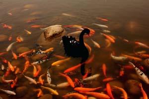 black swan and koi in Chengdu