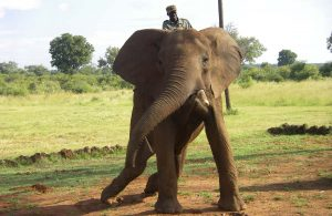 Riding an elephant in Zimbabwe