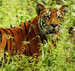 Chitwan park tiger