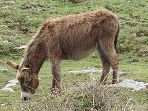long hair donkey