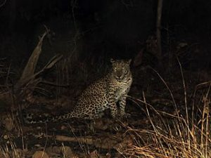 Indian leopard in Gir National Park