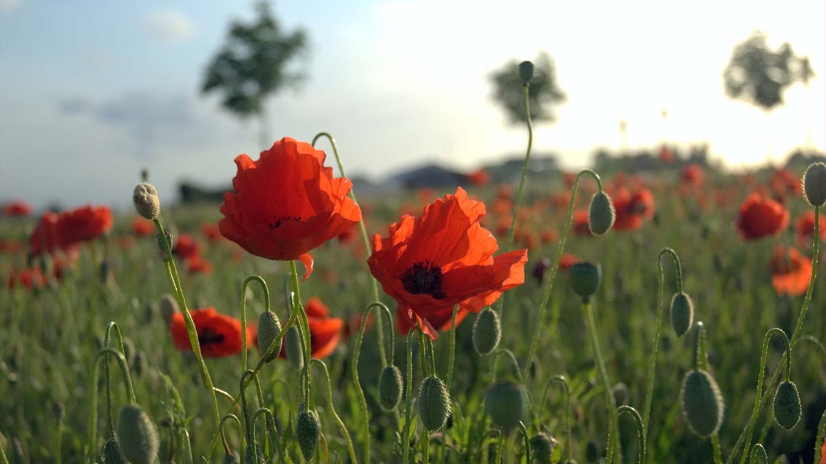 Field of Poppies in Flanders, Belgium