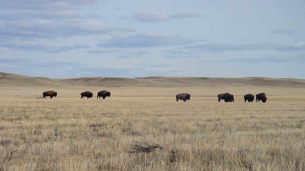 Bison in Grasslands National Park, Saskatchewan