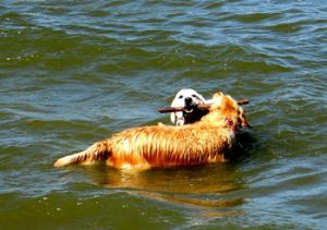 dogs in water in the Ijmeer