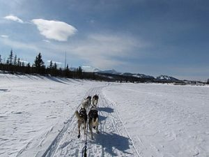 sled dogs running in snow