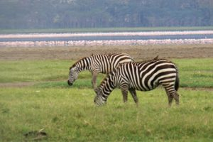 Zebras in Kenya