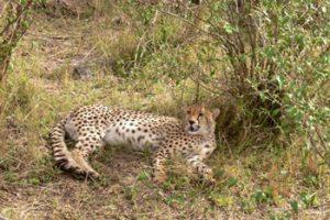 leopard in grass