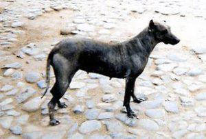 Paruvian hairless dog