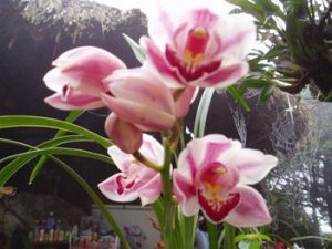 orchids in bloom