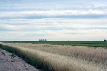 tall prairie grass in Alberta