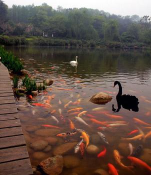 lake with koi and swans