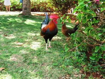 chickens in yard on Kaua'i