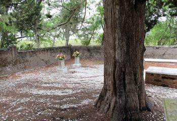 live oak tree in cemetery