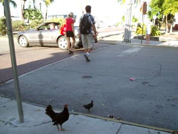 chickens on Key West sidewalk