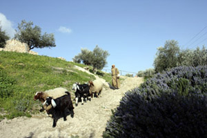 sheep on path to Nazareth village
