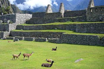 llamas on the central plaza at Machu Picchu