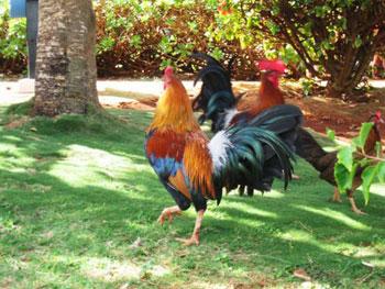 chickens on Kaua'i