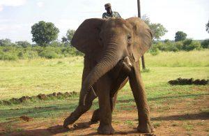 Riding an elephant in Zimbabwe