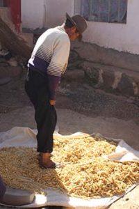 Uros man crushing wheat