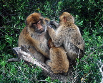 Barbary apes in Gibralter