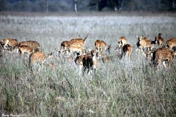 Herd of deer at Dhikala