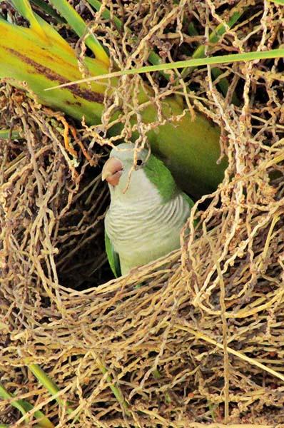 green monk parakeet