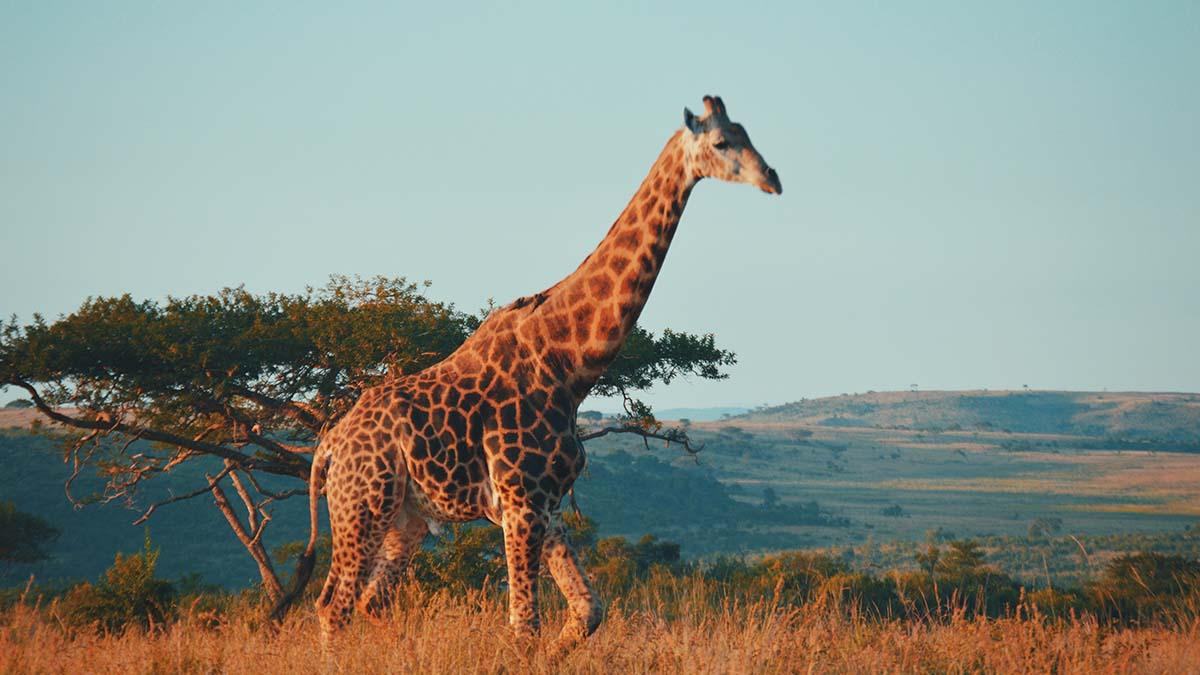 Giraffe in South Africa