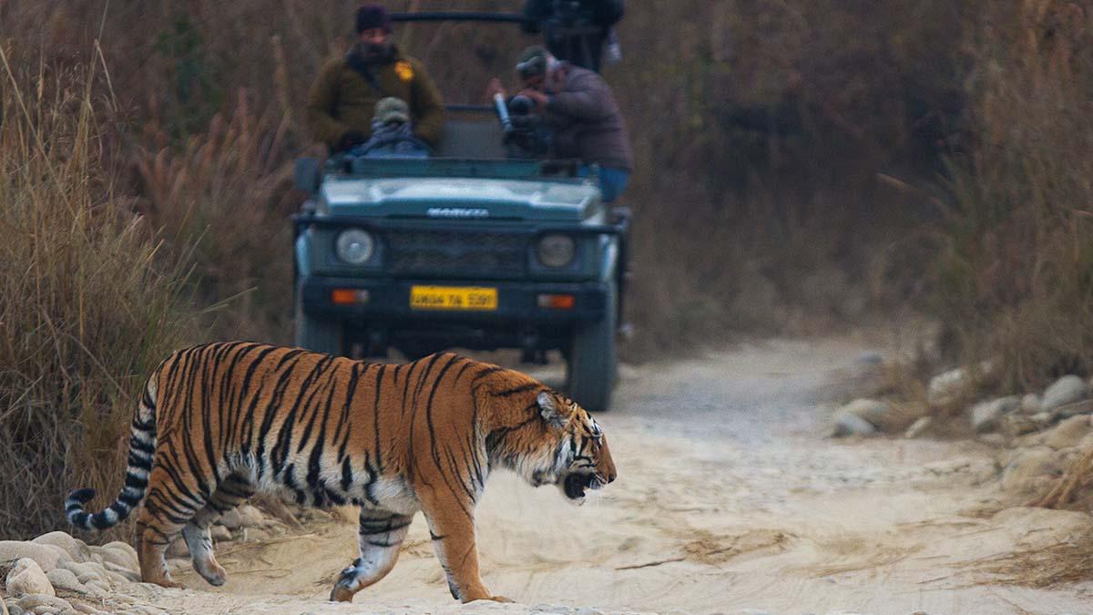 tiger in Jim Corbett park