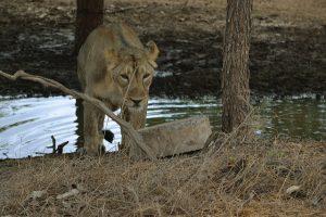 female Indian lion in Gir national park
