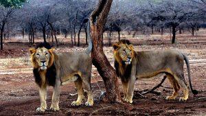 Gujarat lions in Gir National Park