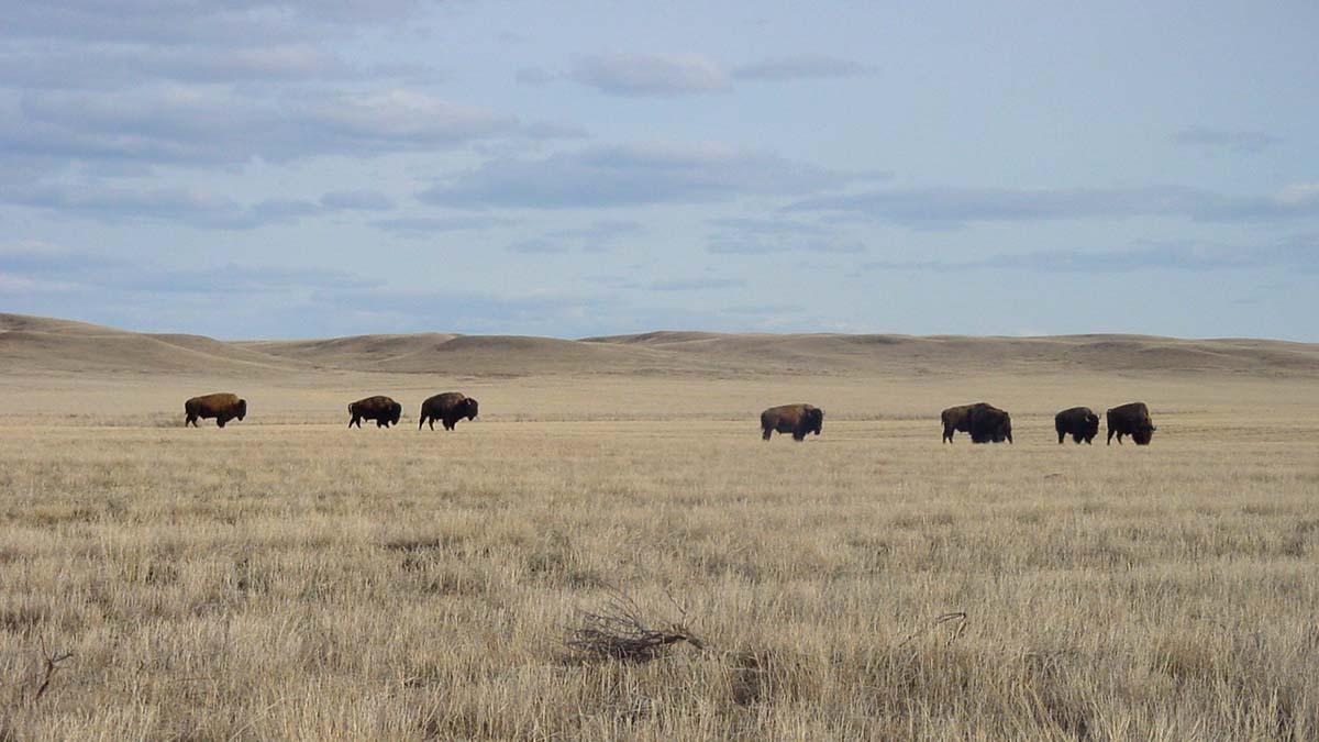 Bison in Grasslands National Park, Saskatchewan