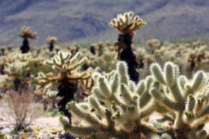 chollo cactus