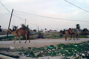 camels on road