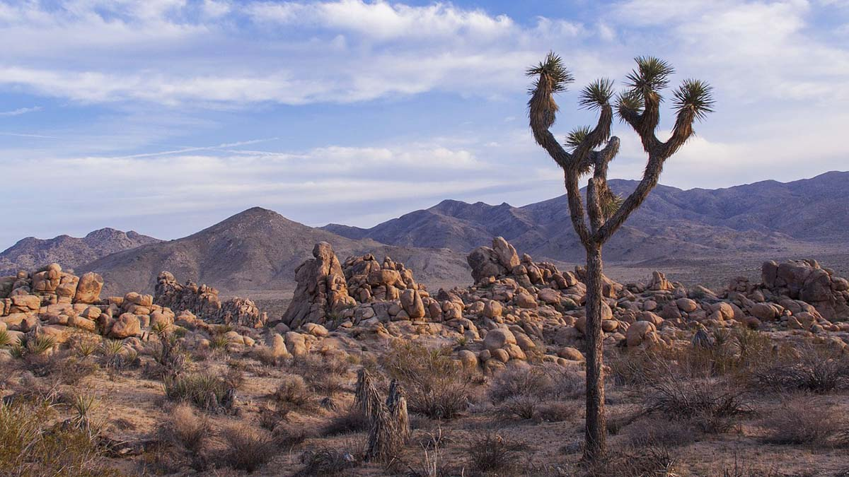 trees and rocks in Joshua Tree National Park
