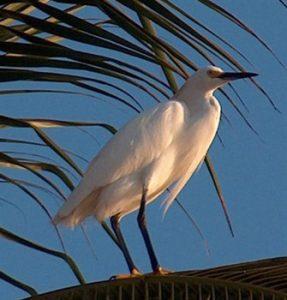 snowy egret in San Patricio Melaque