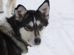 sled dog face close-up