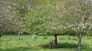 Le Tilleul (France, Normandy), apple orchard with grazing cows