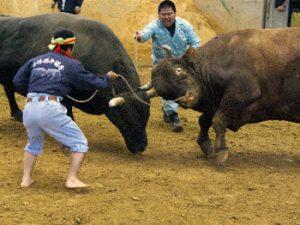 bulls fighting in Okinawa
