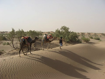 leading camels across sand dune