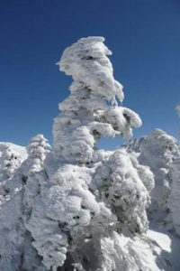 frost and ice on Korean fir trees